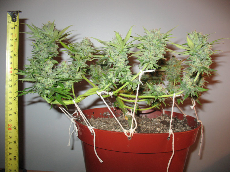 Low-stress cannabis training