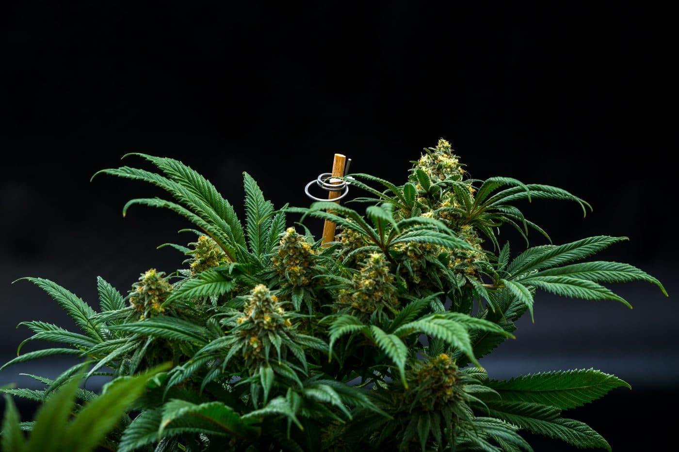 cannabis grow limits