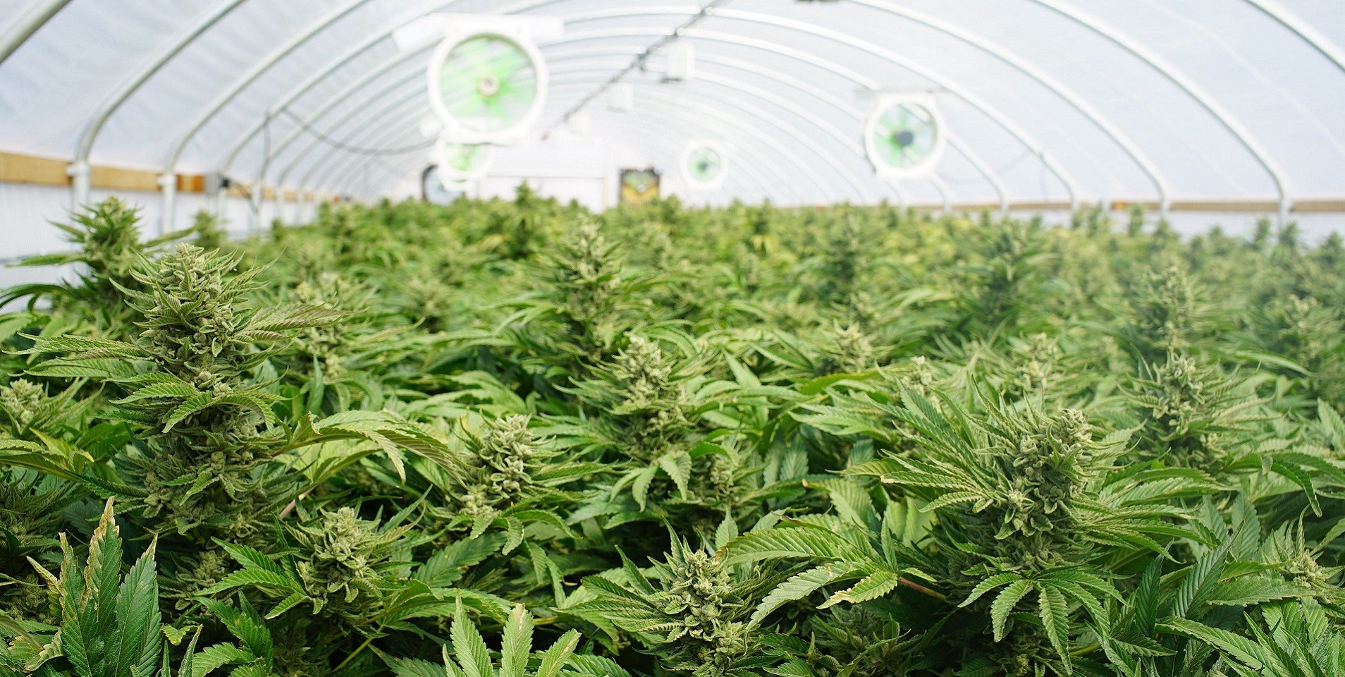 Do's and Don'ts of Commercial Cannabis Harvesting
