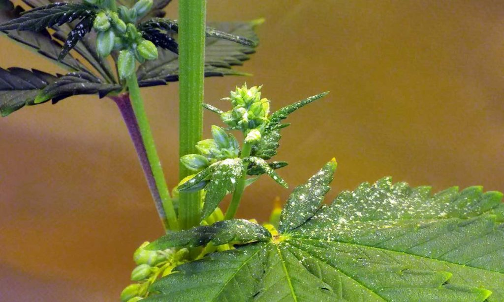 Male cannabis pollen on leaf