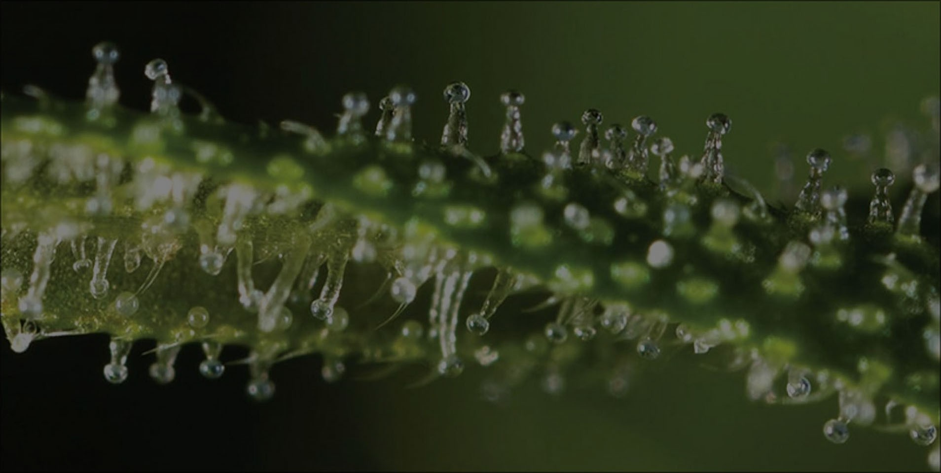 The Different Stages of Trichome Development