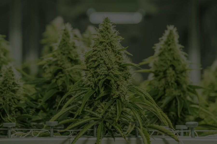 Automating Your Cannabis Grow