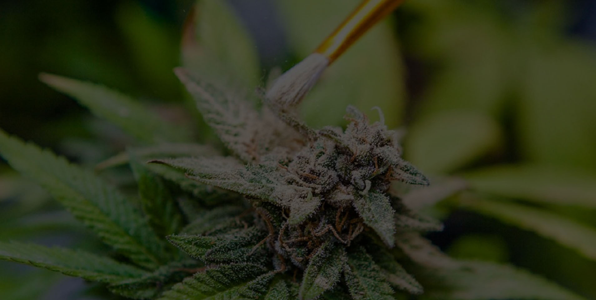 Learn How To Breed Your Own Marijuana Strains At Home