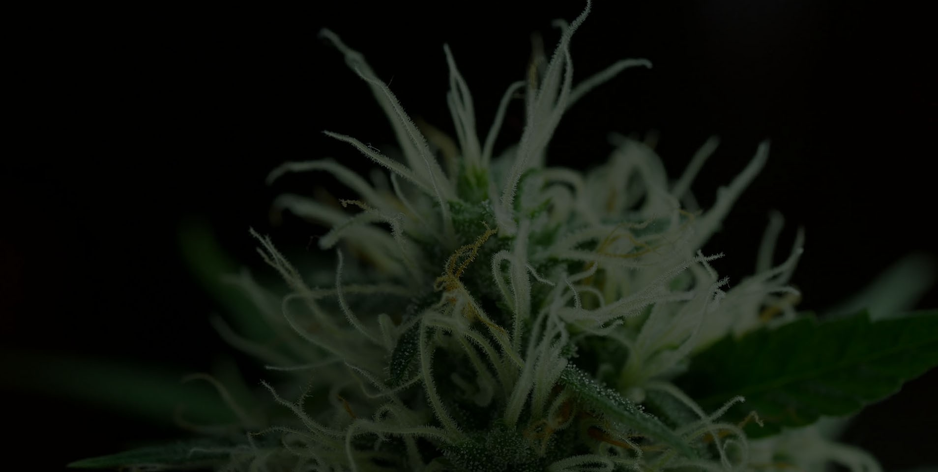 What's Next? Step-By-Step Guide on When to Harvest Cannabis