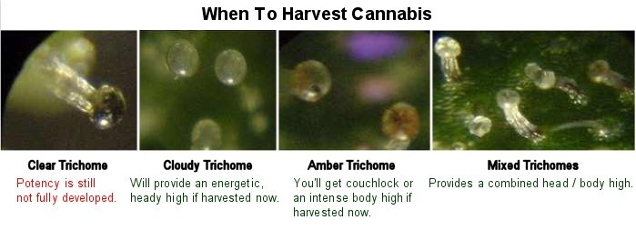 Stages of Trichome Development