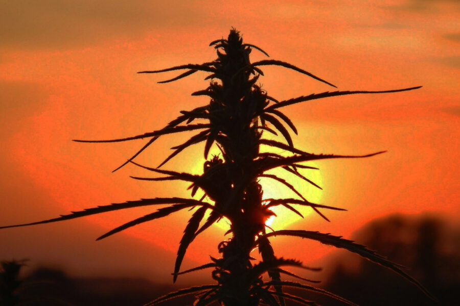 The healing power of hemp