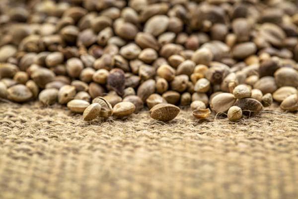 hemp fibre genetics