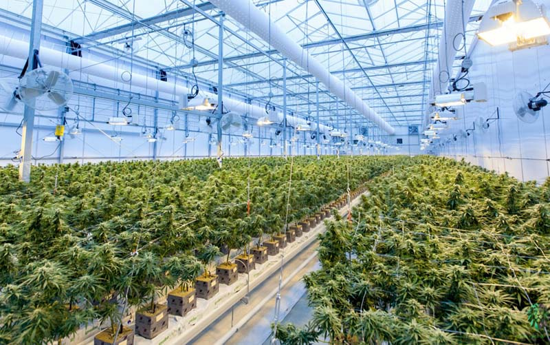 Legion26_Cultivating_Top_Shelf_Cannabis_Cultivation_Section