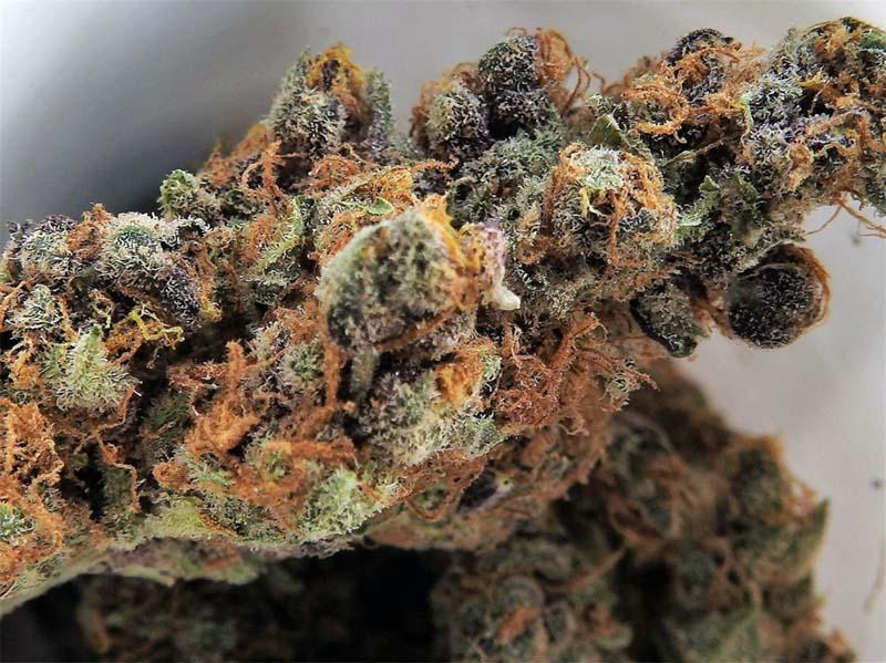Legion26_Cultivating_Top_Shelf_Cannabis_Tangie